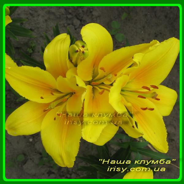 Лилия ярко-желтая
