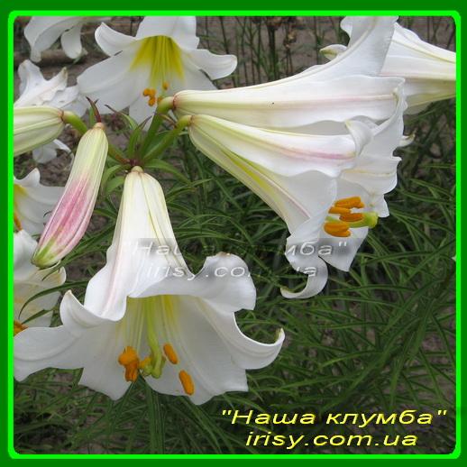 Лилия трубчатая белая