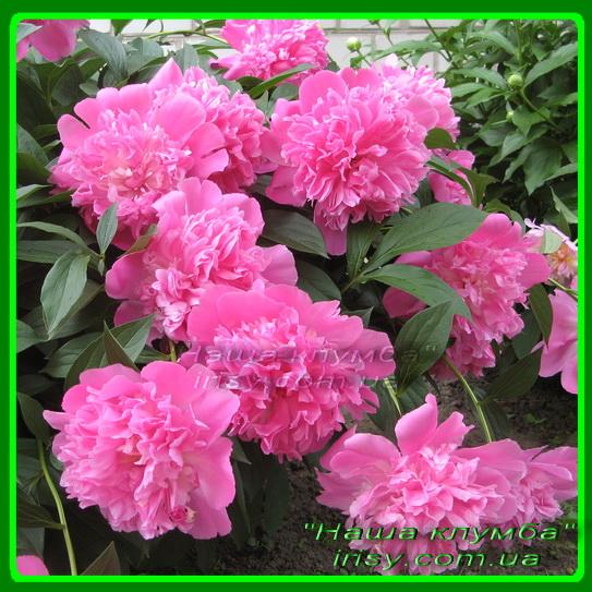Пион розовый.