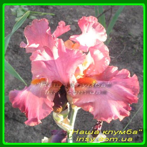 Sambuca Rose. Schreiner '2005, ЕM, 89
