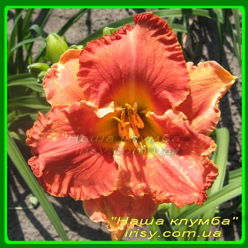 Tropical Jewel. Trimmer'2007, Ev, 65, 12