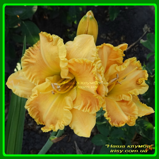 Golden Child. Harry'2009, 65, 18, Sev.