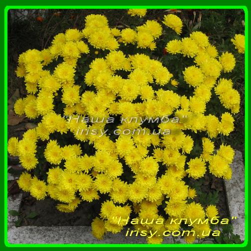 12 Желтая шарообразная