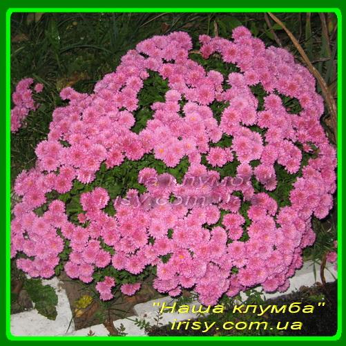 5 Розовая супер