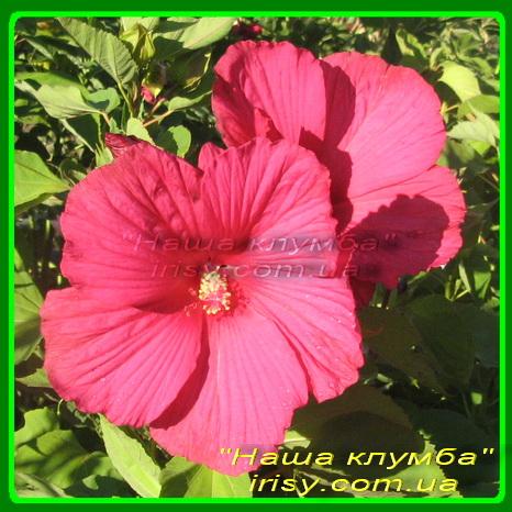 Гибискус №12 розовый.