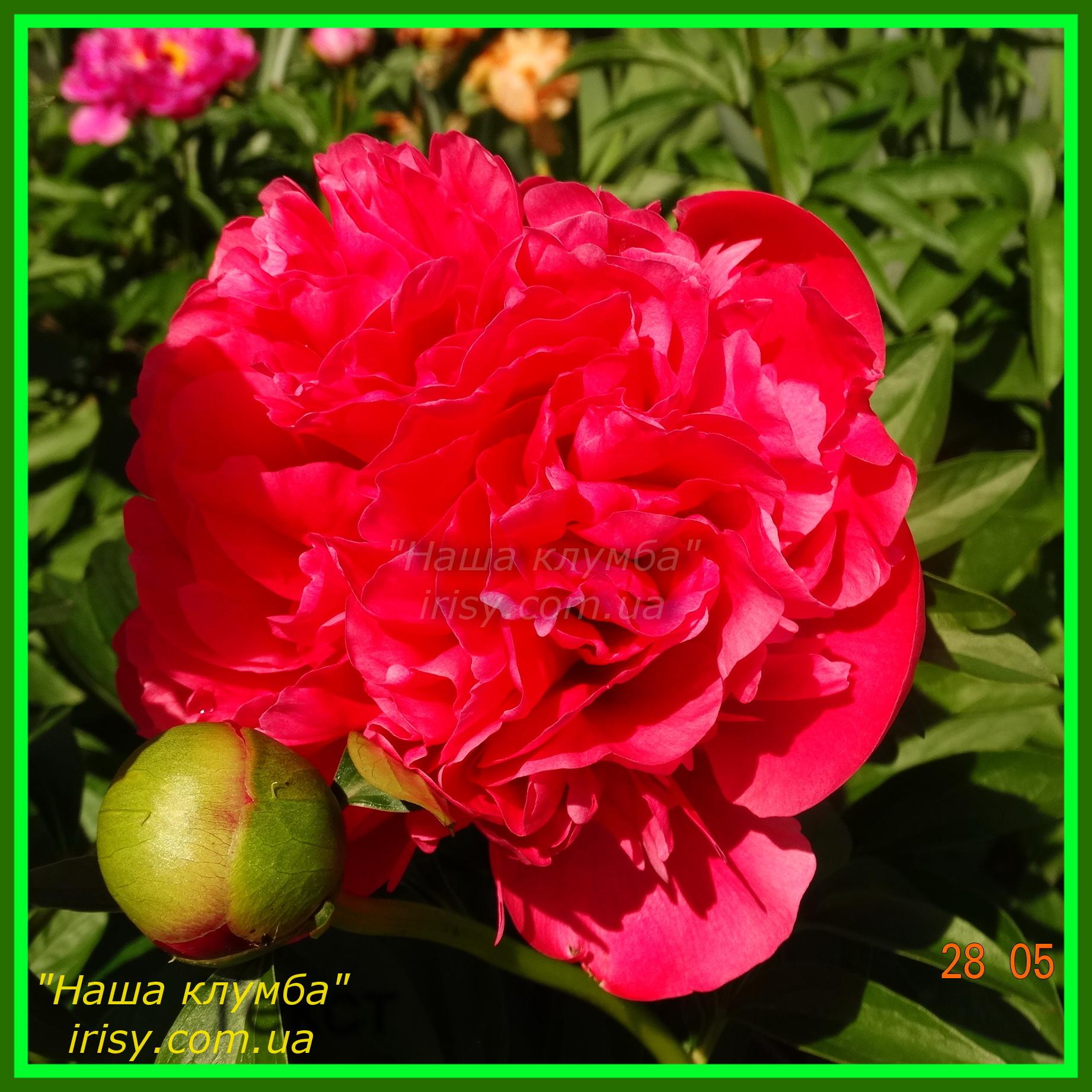 Glowing Raspberry Rose. Cousins Lyman - Klehm Roy G.'1981, Canada-USА.