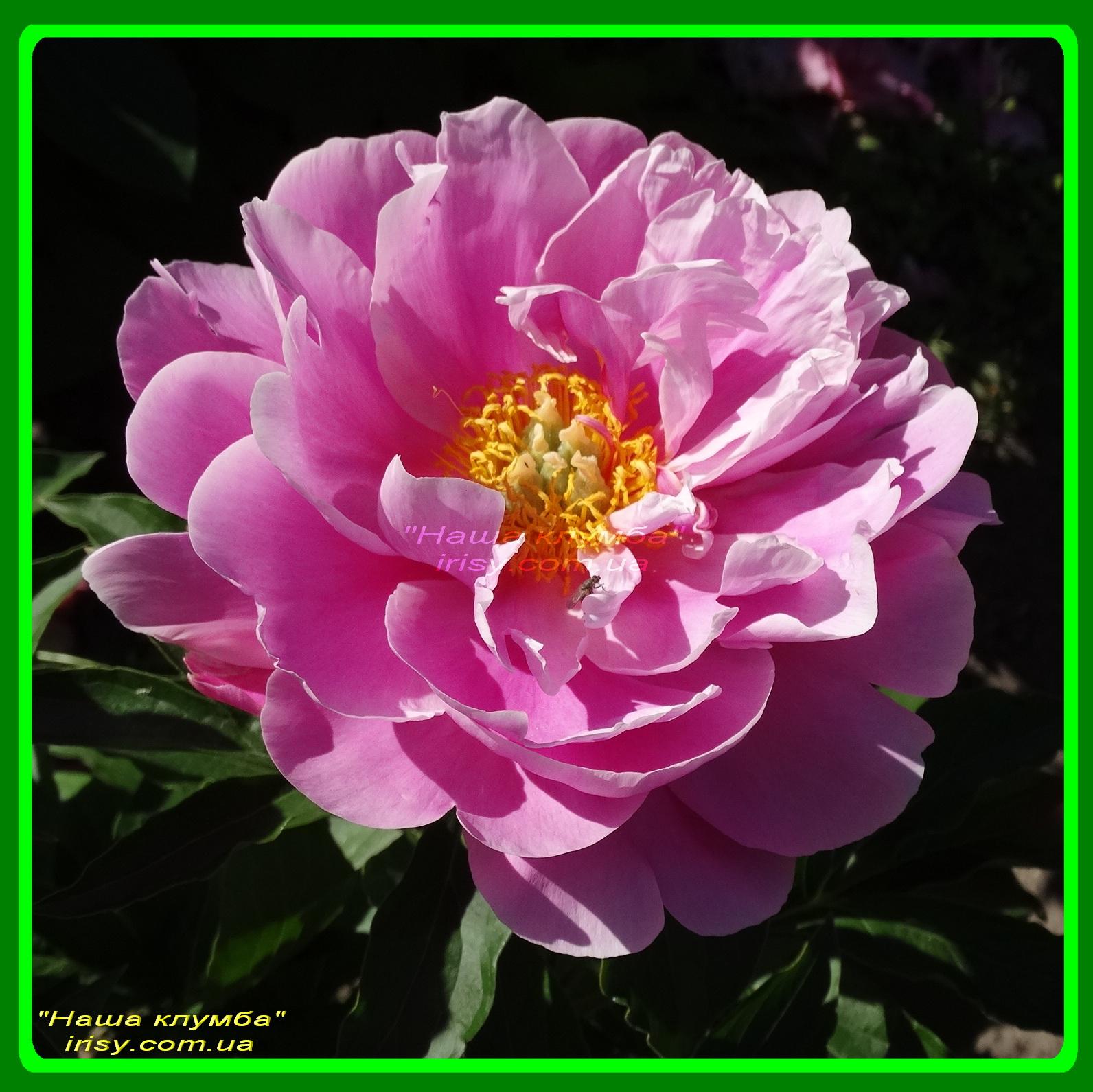 Silver Rose. Klehm'2003, USА.