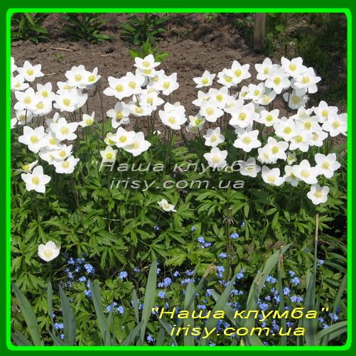 Анемона Ветренница (Лесная) - Anemone sylvestris